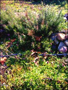 Victory Garden herbs
